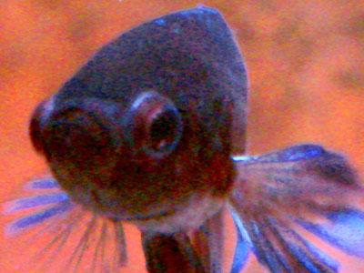Betta Fish Popped Eyes