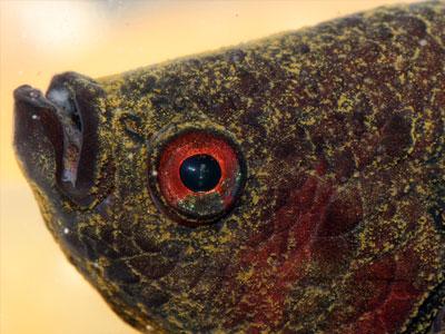 Betta Fish Velvet Disease